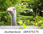 Ostrich Is Looking Over The...