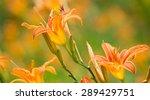 Orange Day Lily Flowers