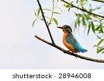 kingfisher  alcedo atthis  | Shutterstock . vector #28946008
