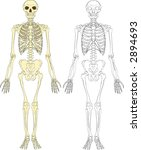 A human skeleton. Raster version - stock photo