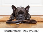 Stock photo french bulldog dog waiting and begging to go for a walk with owner sitting or lying on doormat 289492307
