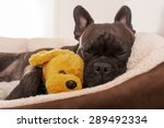 Stock photo french bulldog dog having a sleeping and relaxing a siesta in living room with doggy teddy bear 289492334