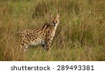 A Wild Serval Standing In The...