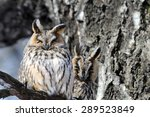 Two Camouflaged Long Eared Owls