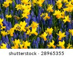 A Mix Of Daffodils And Common...