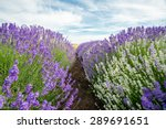 meadow of lavender. nature... | Shutterstock . vector #289691651