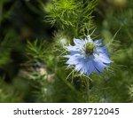 Black Seed  Nigella Sativa ...