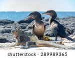 Two Flightless Cormorants And ...