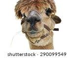 Brown Haltered Alpaca Close Up