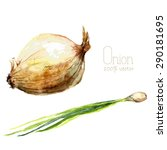 Watercolor Onions. Hand Draw...