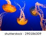 Multiple Orange Jelly Fish...