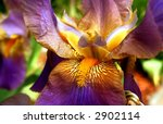 bearded iris flower | Shutterstock . vector #2902114