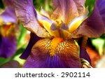 bearded iris flower | Shutterstock . vector #2902114