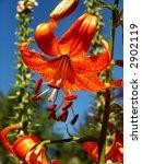 orange tiger lilly   Shutterstock . vector #2902119