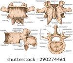 second lumbar vertebra   lumbar ... | Shutterstock . vector #290274461