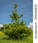 Small photo of Young Abies koreana growing in the backyard shot over blue sky