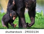 Chimpanzee Baby Walking With...