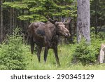 A Large Male Moose In A Forest...