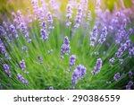 lavender in japan | Shutterstock . vector #290386559