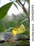 Small photo of Common Iora ( Aegithina tiphia) little birds looking for foods in nature. soft focus on the background.