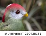 Small photo of Close up of a Black Cheeked Lovebird. Agapornis Nigrigensis.