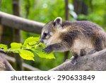 south american coati  nasua... | Shutterstock . vector #290633849