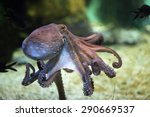 common octopus  octopus... | Shutterstock . vector #290669537