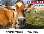 A Jersey Cow Yelling Out Loud