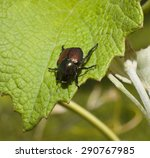 Big Japanese Beetle That Has...