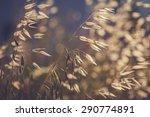 grass spikelet on the field at... | Shutterstock . vector #290774891