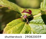 Small photo of Green and Burgundy Stink Bug - Banasa dimidiata