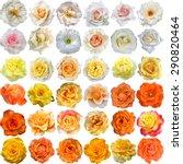 The Big Set Of Light Roses...