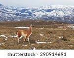 guanaco  lama guanicoe  walking ... | Shutterstock . vector #290914691