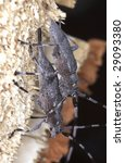 Small photo of Mating behavior of timberman, Acahthocinus aedilis