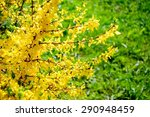 Yellow Flowers Of Forsythia On...