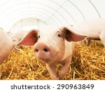 One Young Piglet On Hay And...