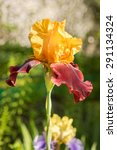 Rare Color Red And Yellow Iris...