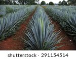 agave field for tequila... | Shutterstock . vector #291154514