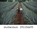 tequila  jalisco  mexico  ... | Shutterstock . vector #291156695