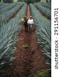 tequila  jalisco  mexico  ... | Shutterstock . vector #291156701
