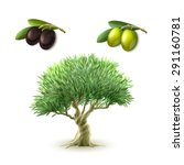 Olive Oil Production...