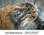 Portrait Of A Pallas Cat  Lat....