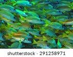 Small photo of School of Bluestripe Snappers (Lutjanus Kasmira, aka Bluestripe Sea Perch, Blue-line Snapper, South Ari Atoll, Maldives