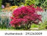 Japanese Fire Bush Acer...