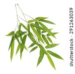 Green Bamboo Leaves Isolated O...