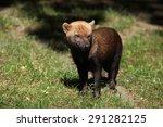 Bush Dog  Speothos Venaticus ...