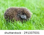 Hedgehog  Animal  Cute.
