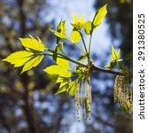 Small photo of Acer negundo maple or American (Acer negundo) .Period flowering