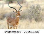 Impala In Savanna. National...