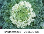 Close Up Of Ornamental Cabbage.